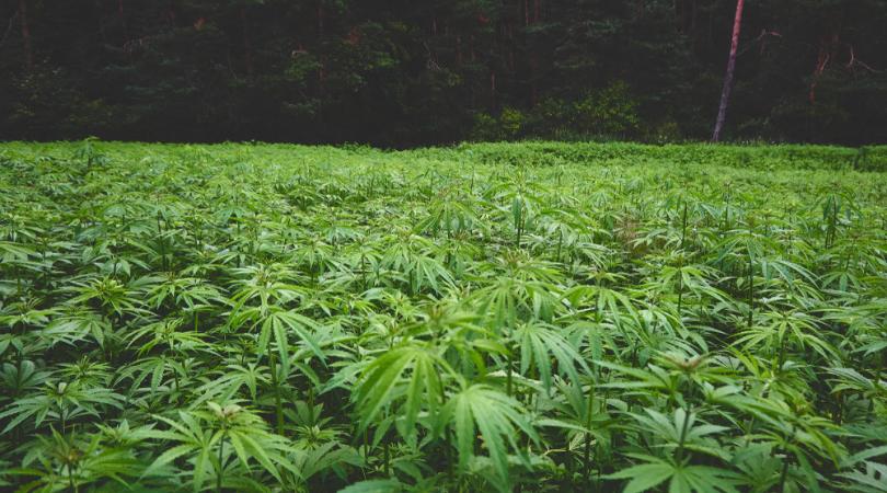 Hemp vs Marijuana The Difference Explained