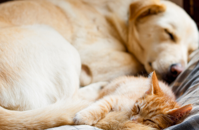 CBD Doses for Dogs or Cats