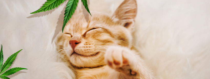 Can You Give CBD Oil To Cats